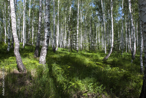 Light birch wood