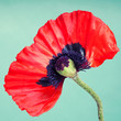 Half a red poppy flower on a faint green background