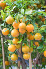 fresh oranges hanging on branch