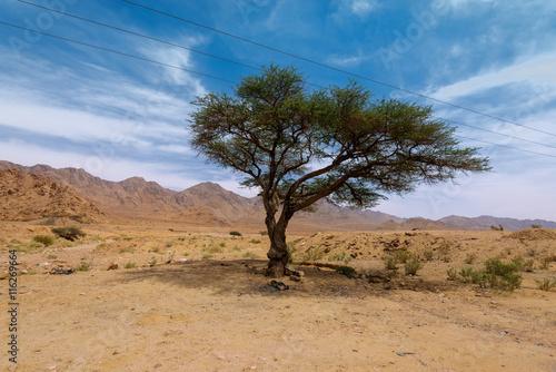 Alone tree in desert, Jordan Poster