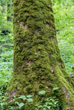 Moss Covers Large Tree Trunk in Smokies