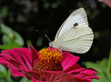 white cabbage butterfly on purple zinnia flower