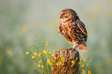 little owl on a fence