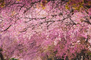 Beautiful pink Sakura flower blooming background