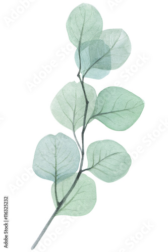eucalyptus twig watercolor illustration - 116325232