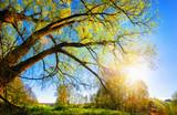 Fototapety Die Sonne geht über dem Land auf und scheint durch einen schönen Baum