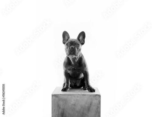 gamesageddon franz sische bulldogge als statue. Black Bedroom Furniture Sets. Home Design Ideas