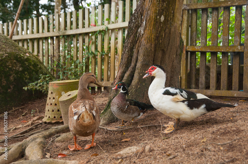 Poster ducks, near the wooden fence