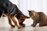 Fototapety Cute cat and funny dog eating food