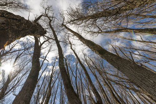 Bare forest seen from below in Abruzzo, Italy