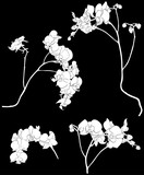 four white orchid branches sketches illustration