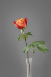 red rose in front of a gray wall