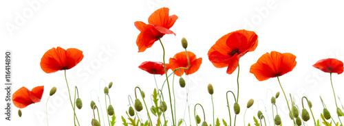 Poppy flowers isolated on white background