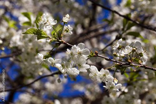 Zdjęcia na płótnie, fototapety, obrazy : cherry blossom