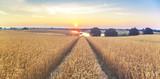 Lato na polach uprawnych,dojrzewające zboże  - 116479022