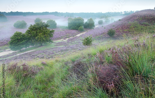 hills with flowering heather and morning fog - 116499632