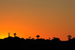Silhouettes of quiver trees (Aloe dichotoma) at sunset, Namibia, southern Africa.