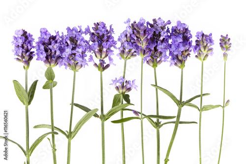 Papiers peints Lavande Violet lavendula flowers on white background, close up