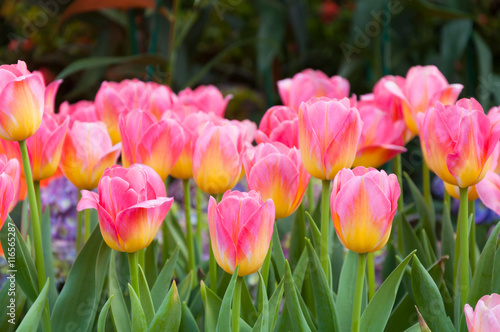 Colorful pink tulips flowers,The blooming of tulip,The beautiful blooming tulips in garden