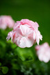 Leinwandbild Motiv Pink pelargonium