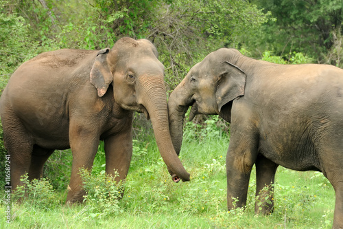 Fototapeta Elephants