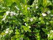 Leinwanddruck Bild - Myrte; Myrtus, communis; Balsam; Myrtenstrauch