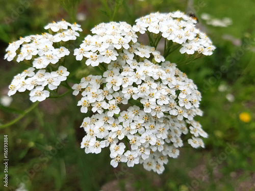 canvas print picture Schafgarbe; Achillea; millefolium