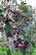 Saskatoon berries growing on the fruit trees.