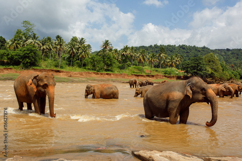 Poster Herd of elephants in the river of Sri Lanka