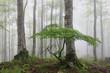bosque de hayas en la niebla