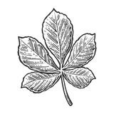 Chestnut leaf. Vector vintage engraved illustration.