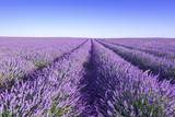 Provence, Lavender field at day. - 116641016