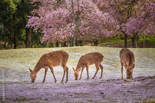 Poster Deers at Nara park during a sunny day in the cherry blossom seas