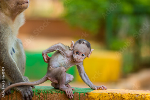 Poster Baby Macaque India with its mother close at hand
