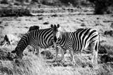 Two zebras on a savanna