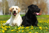 two happy family dogs are Labrador retrievers laying in the summ