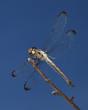 ������, ������: Mosquito predator
