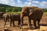 Herd of elephants in the nature
