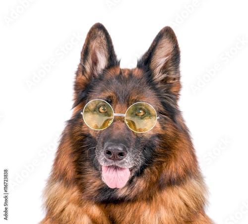 Altdeutscher Schäferhund mit Brille