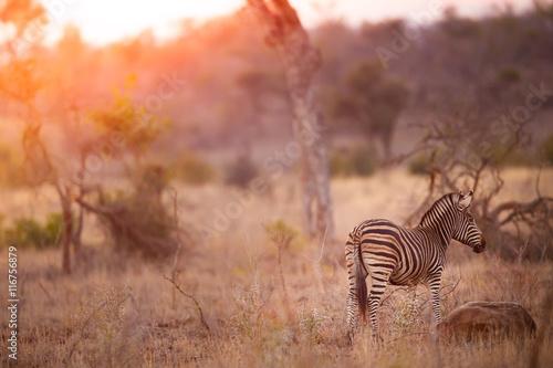 Zebra in the kruger national park