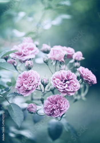 Roses in the garden filtered © Oksana Malenkova
