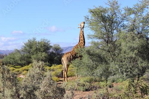 Fototapeta Giraffe in a Safari