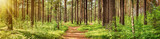 Fototapeta Las - pine forest panorama in summer. Pathway in the park © candy1812