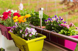 Colorful flowers in pots on the balcony - 116808093