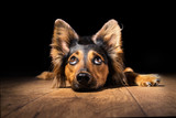 Black brown mix breed dog canine lying down on wooden floor isolated on black background looking up with perky ears while curious watching patient wanting hungry focused begging wishing hoping  - Fine Art prints