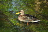 duck on the river in Dahn, Germany