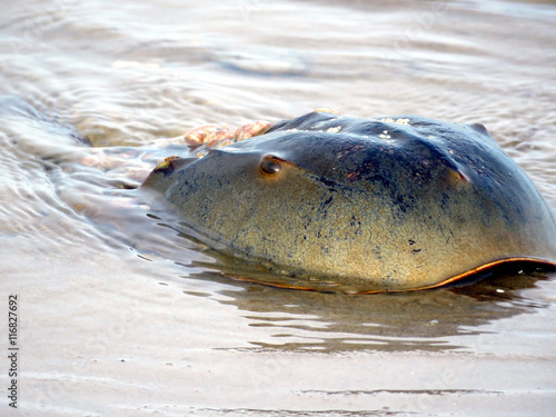 South Bethany the Horseshoe crab on a beach 2016 Poster