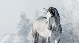 Fototapety Portrait of Spanish thoroughbred grey horse in winter forest.