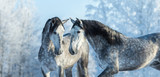 Portrait of two spanish grey stallions in winter forest - 116887257