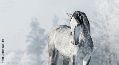Portrait of Spanish thoroughbred grey horse in winter forest.